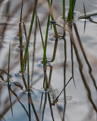 Reflections (PenparcauBoy) Tags: damselfly reed reflection mirror pond nature pembrokeshire wales