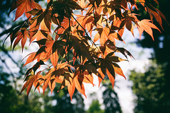Japanese Maple (ironicdream) Tags: leaves spring maple
