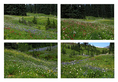 Mt Rainier Wildflower Collage (louelke - on and off) Tags: mtrainier mtrainiernationalpark mtrainierparadise wildflower meadows colorful display variety summer