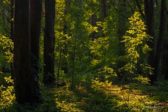 Afternoon Light (jorgeverdasca) Tags: afternoon magiclight sunlight green 5dmk4 canon dark darkforest goth backlit backlight landscape bosque woodland floresta forest mountain sintra portugal