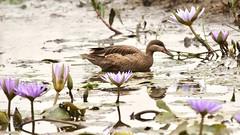 Lilly pond (Nagarjun) Tags: egyptiangoose alopochenaegyptiaca nairobinationalpark kenya eastafrica duck safari savannah gamedrive wildlife lillypond