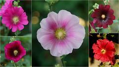 hatmi çiçekleri