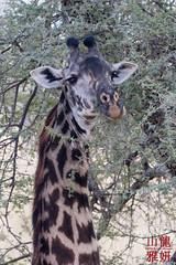 Maasai Giraffe (DragonSpeed) Tags: 28thkitsilanoscoutgroup 28thvancouverscoutgroup africa africanwildcatsexpeditions giraffacamelopardalistippelskirchi maasaigiraffe masaigiraffe safari scouts tanzania tanzaniaexpedition2018 tarangirenationalpark venturerscouts venturers mammal wildlife manyara tz