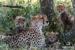 Cheetah Family (www.jamesbrew.com) (James Brew (www.jamesbrew.com)) Tags: tanzania eastafrica africa safari wildlife wildlifephotography wild cheetah cubs baby family cheetahs serengeti serengetinationalpark travel travelphotography