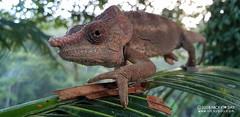 Short-horned chameleon (Calumma brevicorne) - 20180607_064637 (nickybay) Tags: africa madagascar macro andasibe shorthorned chameleon calumma brevicorne chamaeleonidae