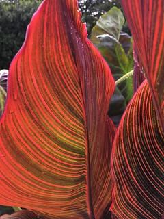 Cylburn Arboretum ~ Canna Lily leaves