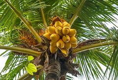 Coconut palm / Кокосовая пальма (Vladimir Zhdanov) Tags: travel plant tree nature tropical indonesia bali forest coconut sky