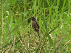 Lanius schach (dhobern) Tags: 2018 hongkong hongkongwetlandpark september aves passeriformes laniidae laniusschach