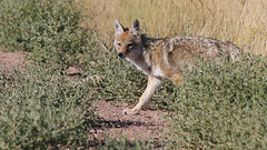 Safe To Come Out? (Bill G Moore) Tags: coyote animal wild wildlife naturephotography bush grass laramie wyoming canon