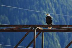 Keeping Watch (Anthony Mark Images) Tags: bird eagle birdofprey raptor baldeagle perched watchful mountains wires steelbeams sitka alaska usa 49thstate nikon d850 sundaylights