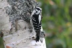 Downy Woodpecker (rwkphotos) Tags: downywoodpecker picoidespubescens novascotia canada
