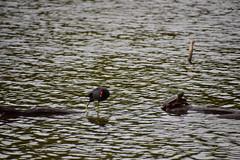 18SHR204 Moorhen and terrapin, Priorslee Flash (bentolley1) Tags: england shropshire telford lake water animal bird moorhen reptile terrapin