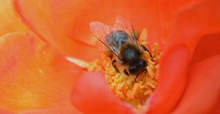 honey bee on Floribunda Rose 'Orangeade'
