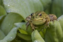 Miradas (seguicollar) Tags: rana hojas verde batracio sapo green ojos boca ancas mirada gotas agua lluvía virginiaseguí nikond7200 anfibio