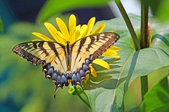 Farewell To Summer (marylee.agnew) Tags: summer swallowtail dazzling beauty sun yellow warm light butterfly flowers plants outdoor nature cup plant