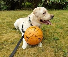 Gracie guarding her new ball (walneylad) Tags: gracie dog canine pet puppy lab labrador labradorretriever cute august summer afternoon orange ball