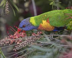 A Rainbow at the Grevillea (archie0) Tags: rainbowlorikeet bird tongue flower