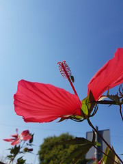 Eukaryota (slow_brains) Tags: fiore fiori flower insect insects entomology sangiorgiodilomellina pavia lombardia italia italy nature sky pink summer estate macro natura