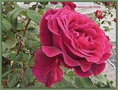 Ronda 28 Jardín de Casa de Don Bosco (ferlomu) Tags: ferlomu flor flower málaga ronda rosa rose