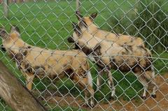 AFRICA ALIVE, KESSINGLAND, SUFFOLK (meddie / aka Gramps) Tags: mongooselemur drill chimpanzee kingcolobus ringtailedlemur africanhuntingdog blesbok aardvark southernwhiterhinoceros cheetah chapmanszebra meerkat sheep blackandwhiteruffedlemur crownedlemur redbelliedlemur