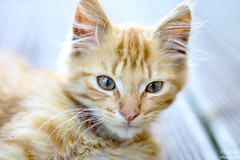 portrait of cat (darvoiteau) Tags: explore explorer cat portrait animal chat cute