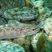 Juvenile brown trout in the Verzasca river (Salmo trutta fario) 3/3