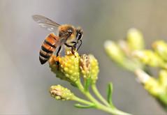 Honey bee (Monkeystyle3000) Tags: honey bee