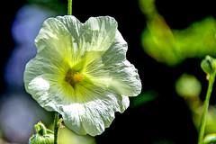 Rose trémière (Diegojack) Tags: vaud suisse yverdonlesbains d500 nikonpassion nikon plantes fleurs roses trémières lumière ombres grosplan