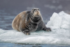 Bearded Seal (alicecahill) Tags: origoexpedition svalbard norway ©alicecahill seal mammal arctic scandinavia ice travel europe beardedseal animal
