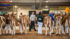 Cow Judge (Scottwdw) Tags: 2018 building cow dairy exhibitcenter fairgrounds guernsey heifer judge judging morning newyork newyorkstatefair people show summer syracuse tractorsupplyco unitedstatesofamerica 840 nikond750 nikonafs28300mmf3556edvr man handlers cows mammals livestock animals animal