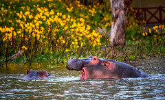 Hippopotamuses , Lake Naivasha (Ray in Manila) Tags: hippo kenya naivasha hippopotamus hippopotamuses hippopotami eos650d efs55250mm wildlife wild lake maasai safari water flora riftvalley tropical mammal hippopotamusamphibius herbivorous semiaquatic artiodactyl
