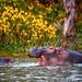 Hippopotamuses , Lake Naivasha