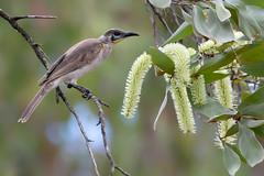 Little Friarbird (Philemon citreogularis) (Ian Colley Photography) Tags: mareeba queensland canoneos7dmarkii ef500mmf4lisusm littlefriarbird philemoncitreogularis bird