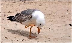Hello, qui va là, sous les grains de sable... (Save planet Earth !) Tags: france porquerolles sud bird oiseau seagull goéland nikon amcc animal