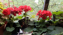 Red Geranium cuttings on balcony railings 9th September 2018 (D@viD_2.011) Tags: red geranium cuttings balcony railings 9th september 2018