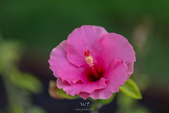 Pink Hibiscus Flower (W9JIM) Tags: hawaii maui w9jim 5d4 ef70200mmf28lisiiusm canoneos5dmarkiv f28 pinkhibiscus