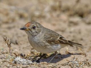 lagoon creek - ♀  red-capped robin