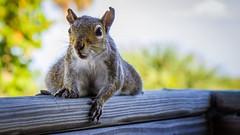 Wild Squirrel in Key Biscaine (Ruggero Poggianella Photostream ©) Tags: usa usa2018 florida squirrel wildsquirrel keybiscayne