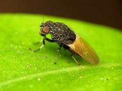 Funky Heleomyzid (treegrow) Tags: newzealand nature lifeonearth raynoxdcr250 arthropoda insect diptera fly heleomyzidae allophylinaalbitarsis taxonomy:binomial=allophylinaalbitarsis