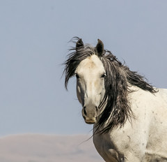The Face of the West (chad.hanson) Tags: mustangs wildlife wildhorses wyoming stewartcreekhma