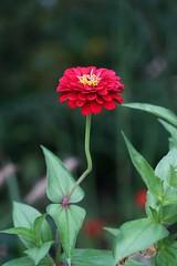 Red Zinnia (JPShen) Tags: bokeh garden zinnia red flower