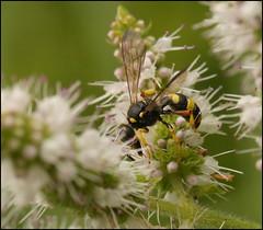Potter wasp? (catb -) Tags: france saintgeniès insect wasp macro potterwasp dordogne