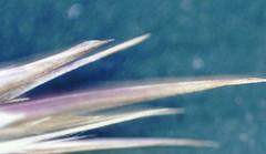 Another world, Wallis/Vispertal, 2018 (albertuszerk) Tags: macro photo switzerland europe plant nature wallis visperterminen alpenflora edelraute goldprimel vispertal alpen stone detail dornen bluete moos makroaufnahme macroshoot background art microcosmos planet atom macrocosmos desktop