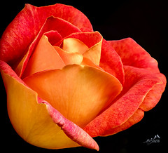 KV4A0699  Rose fra haven - rose from our garden (I appreciate all the faves and visits many thanks) Tags: blomster flowers haven natur nature ourgarden roser roses solveigøsterøschrøder