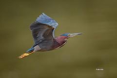 Green Heron - adult (Mike Veltri) Tags: birds avian herons green wild flight naturephotography ontario canada