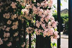 Beauty bush (m-og-m) Tags: kodak gold kodakretina1bschneiderkreuznachretinazenarf2 850mm