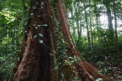 Pied de géant (alain_did) Tags: jungle amazonie amériquedusud ameriquedusud arbre feuillage feuilles green tronc sousbois nature naturallight naturelover naturepics guyane forêt forêtamazonienne tourisme voyage excursion promenade evasion