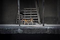 Queen of the concrete jungle (axelguth) Tags: pentaxk3 pentax street cat samos laowa kokkari greece