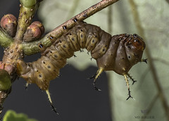 Eacles imperialis (AnthonyVanSchoor) Tags: anthonyvanschoor maryland usa moth blandairnorth columbiahowardcounty mdsavagequad39076b7 marylandbiodiversityproject mothing nikond7100 macro eaclesimperialis