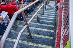 Pigeon steps (Tim Brown's Pictures) Tags: washingtondc architecture buildings urban business street streets outdoors city nationalspark baseballstadium steps audience keepingscore pigeon bird washington dc unitedstates